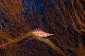 stock photo of hawkfish  - Longnose hawkfish  - JPG