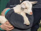 newborn white goat