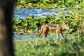 stock photo of jackal  - Blackback jackal animal hunting around waterhole dirt road in wildlife park reserve - JPG