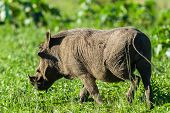 Warthog Wildlife