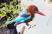 blue Kingfisher bird, on a branch, beak right