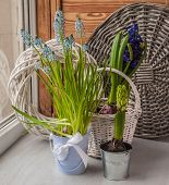 Hyacinths  On The Window
