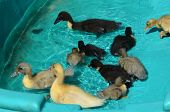 image of baby duck  - Some baby ducks swimming in a pool of water - JPG
