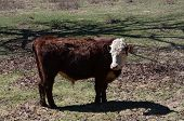 picture of hereford  - A Hereford bull standing in a pasture - JPG