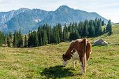Cow Grazing In The Alps