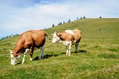 Two Mottled Cows Standing In The Meadow