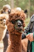 pic of reining  - Man holding fluffy brown alpaca by rein - JPG