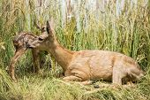 image of deer family  - Deer mother and young deer hiding in the grass - JPG