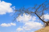 Acacia Tree Against A Cloudy Blue Sky