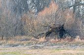 Old Burnt Willow In Winter