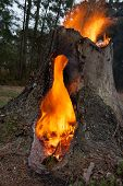 Hot Fire in hollow pine tree stump