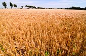 Textured Wheat Field