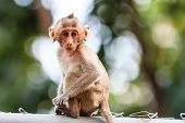 Little Monkey (crab-eating Macaque) In Thailand