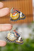 Leopard Lacewing (cethosia Cyane Euanthes) Butterflies