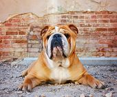 a bulldog in an alley with a brick wall