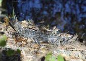 Baby Alligators Basking In Florida Wetlands