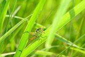 Grasshoppe