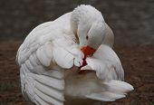Grooming White Goose