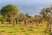 Several Giraffes Walking And Eating In A Landscape