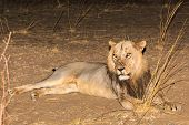 Male Lion Lying  On The Ground At Night