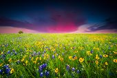 stock photo of bluebonnets  - Bluebonnets and sunflowers in predawn morning light - JPG