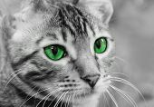 pic of tabby-cat  - Portrait of tabby cat in black and white with green eyes close - JPG