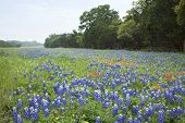 pic of bluebonnets  - Bluebonnets and Indian Paintbrush flowers in a field alongside a Texas Hill Country road - JPG