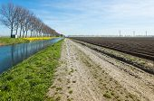 picture of row trees  - Rural area on a sunny day in spring with newly sown potatoes in long ridges and a row of bare trees reflected in the water of a canal with flowering yellow charlock on the waterfront - JPG