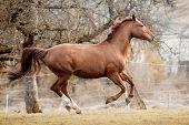 stock photo of galloping horse  - Horse galloping - JPG