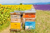 picture of honey bee hive  - Bee hives on lavender and sunflower fields near Valensole Provence with a lot of bees - JPG