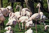 stock photo of greater  - Group of Greater flamingos (Phoenicopterus ruber roseus) in outdoors. Animal theme.