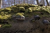 image of fungus  - Tinder Fungus on deadwood and green moss in a Danish forest - JPG