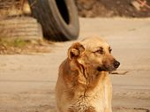 picture of dump  - Homeless stray dog alone at the dump  - JPG
