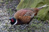 picture of pheasant  - a male pheasant feeding on sunflower seeds - JPG