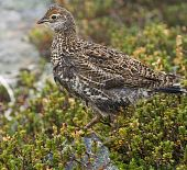 Young Ruffed Grouse