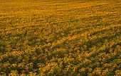 Background On Sunflowers