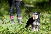 pic of schnauzer  - Cute miniature schnauzer on the leash posing on spring grass girl - JPG
