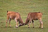 Two Eland Fighting