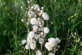 foto of cupid  - Plant with white parachutes like dandelion  - JPG