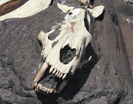 picture of animal teeth  - A Smilodon Skull Best Known as Saber - JPG
