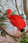 picture of scarlet ibis  - Scarlet Ibis bird - JPG