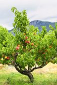 stock photo of peach  - Peach tree with ripe fruit in Okanagan valley British Columbia Canada - JPG