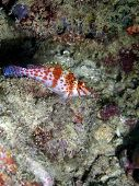 picture of hawkfish  - Most hawkfishes establish territories within the branches of soft and hard corals - JPG