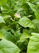 stock photo of tobacco leaf  - Ripening tobacco on field by gathering Smoking - JPG
