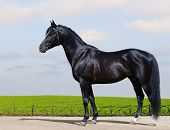 Trakehner black stallion - horse form