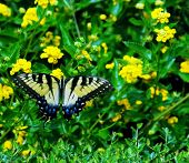 Black Yellow Blue Butterfly 1