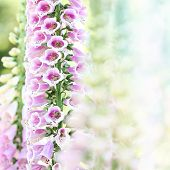 foto of digitalis  - Beautiful pink digitalis or foxglove flowers in spring summer garden on blurry bokeh background - JPG