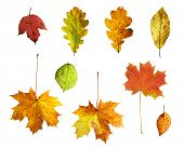 Full-size composite photo of various autumn leaves: maple, oak, viburnum (guelder rose), honeysuckle