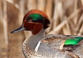 Green Winged Teal Close-up
