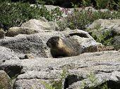 Marmot Paradise